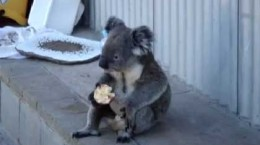 Koala-Chills-and-Eats-an-Ap