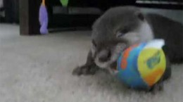 babyotterplaying
