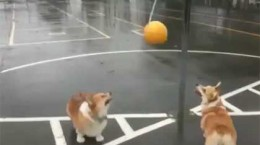corgisplaytetherball