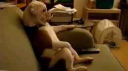 lazybulldogwatchestv
