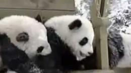 pandabearsplaying