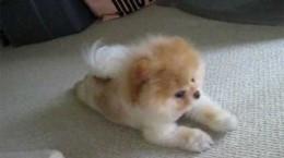 puppyhasanitchybelly