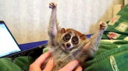 ticklingslowloris