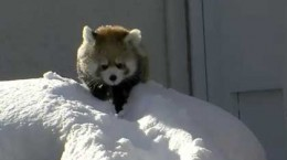redpandasplayinginthesnow