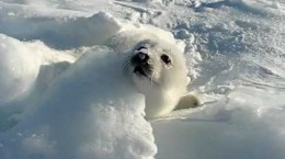 sealplayinginthesnow