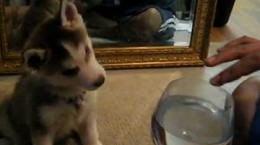 siberian-husky-fascinated-by-wine-glass